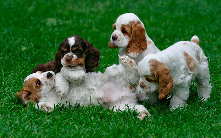 Как выбрать щенка американского кокер-спаниеля