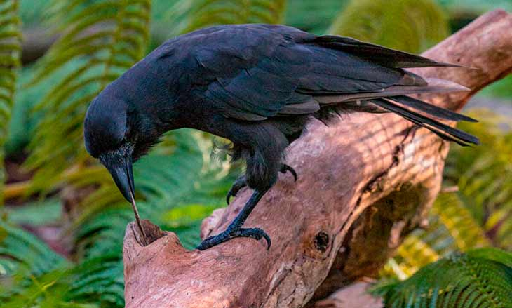 Птица ворон