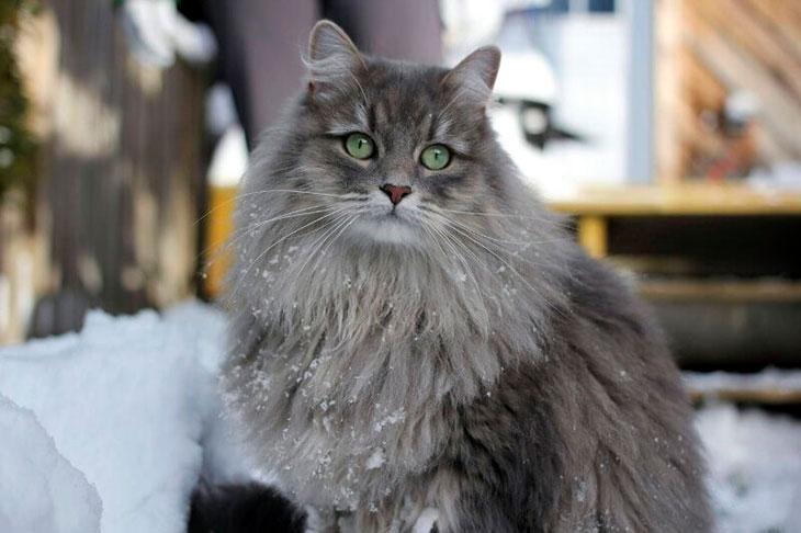 Сибирская кошка серая: