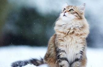 История происхождения сибирской кошки