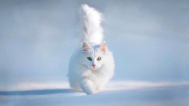 Сибирская кошка белая: