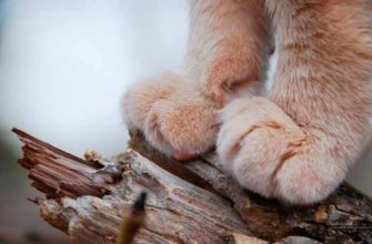 Количество пальцев на кошачьих лапках
