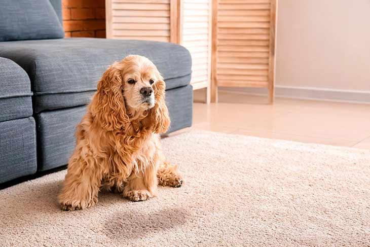 Собака писает в квартире