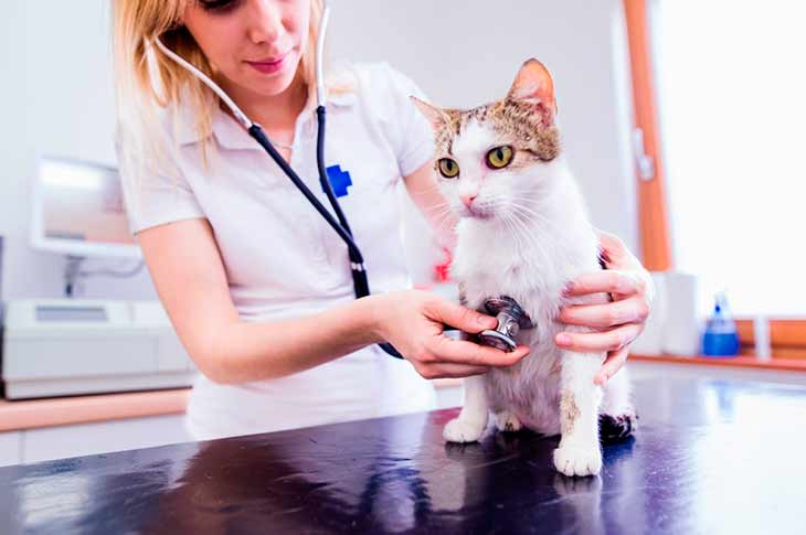 Как подготовить кота к оперативному лечению?