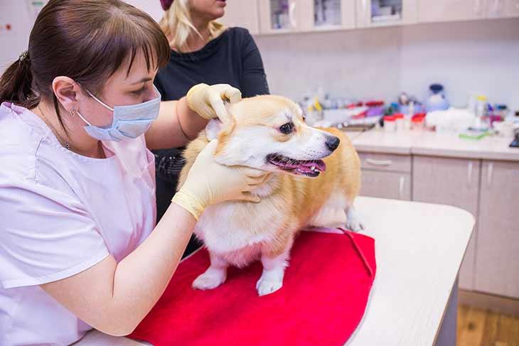 Как собака может заразиться лишаем
