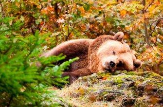 Зачем медведям впадать в спячку?
