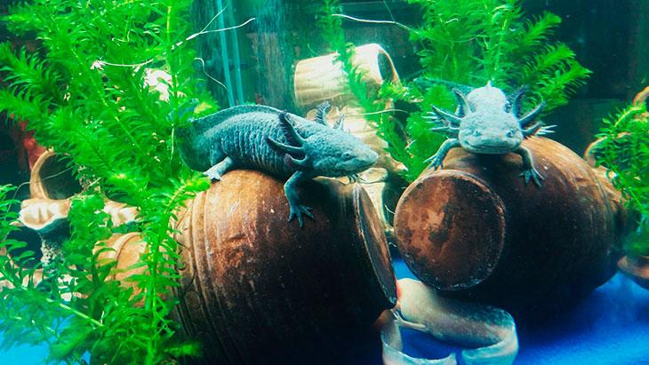 Какие рыбки подойдут в качестве соседей для тритонов
