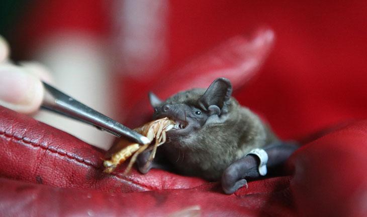 Рацион летучей мыши