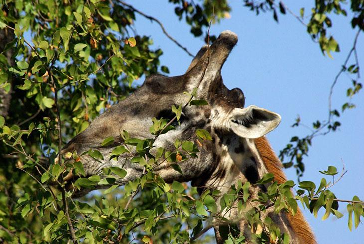Рацион жирафа