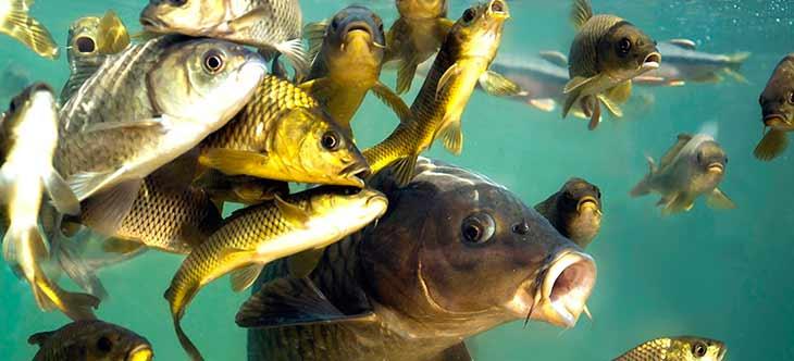 Сколько живут рыбы?