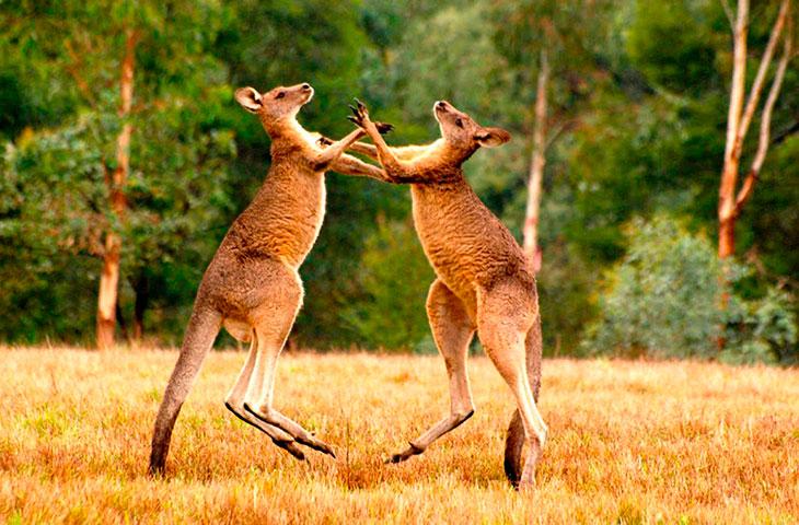 Описание кенгуру
