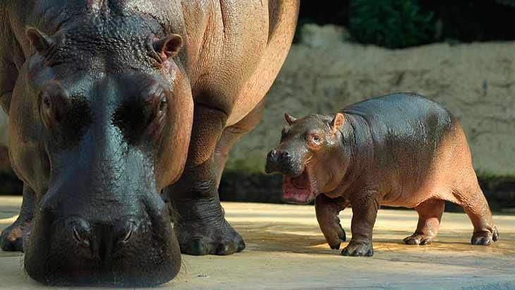 Что едят бегемоты в зоопарке?
