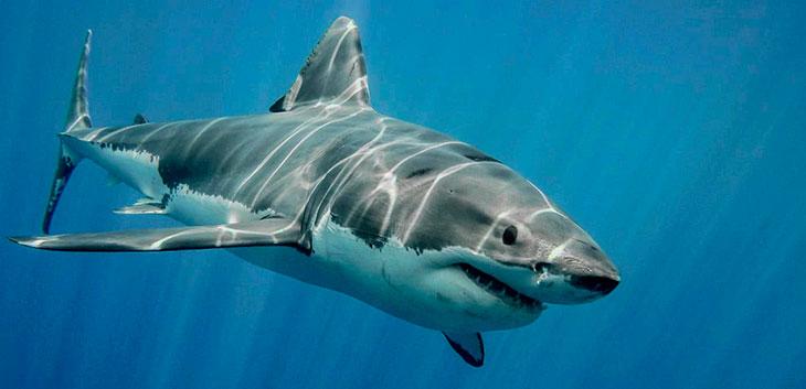 Продолжительность жизни разных видов акул в природе