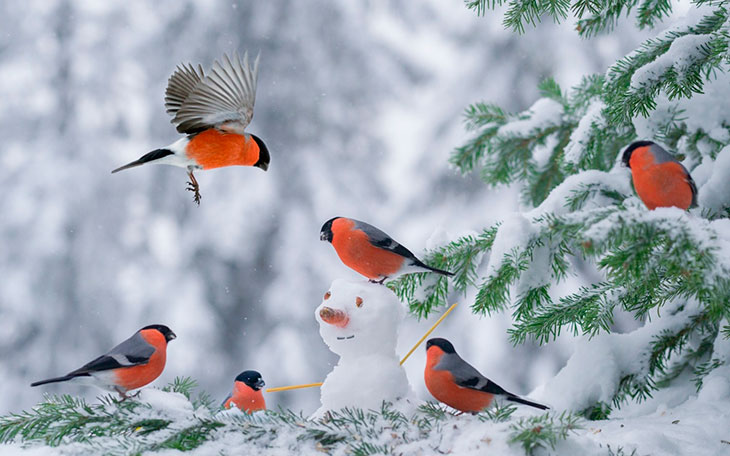 Куда улетают снегири