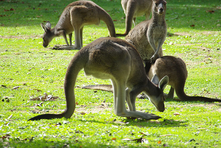 Рацион кенгуру