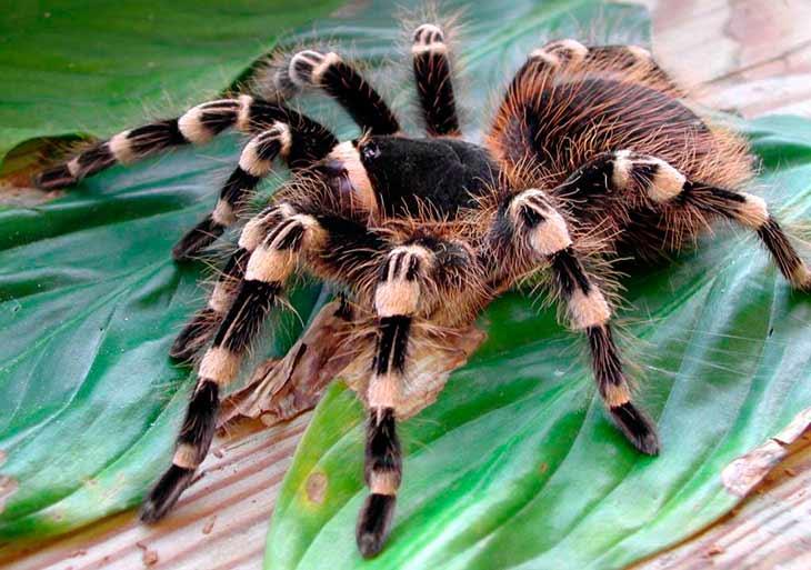 Птицеед паук