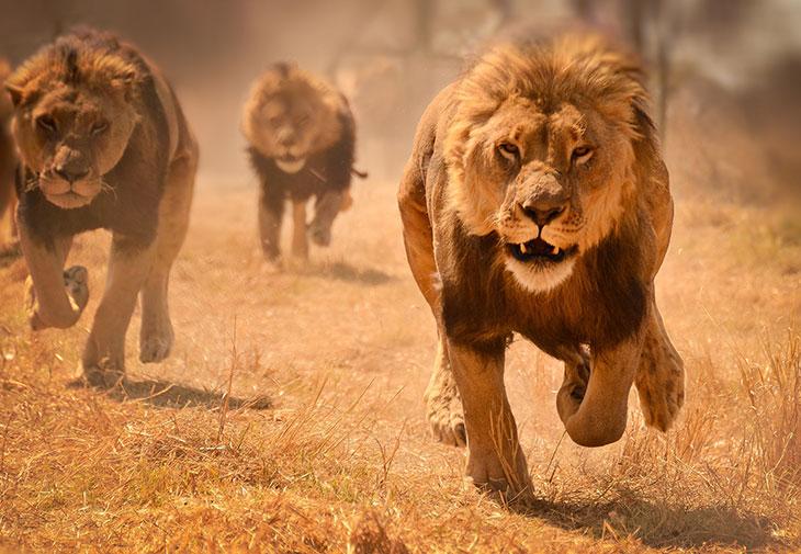 Охота и питание африканского льва