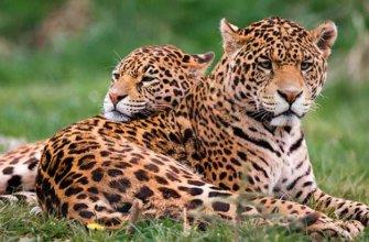 Описание ягуара