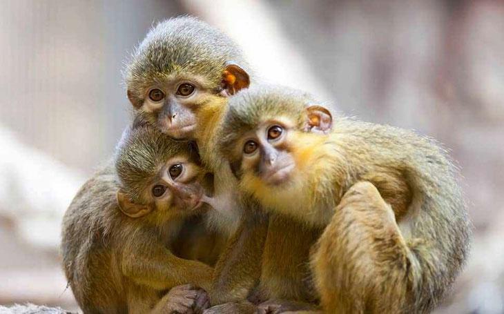 Карликовые игрунки – самые маленькие обезьянки в мире