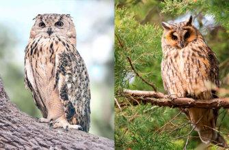Разница между совой и филином