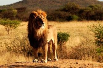 Обитает лев