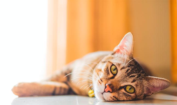 Уши кошки, как показатель температуры тела