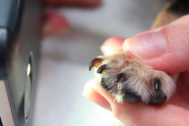 Подстригание ногтей у собаки