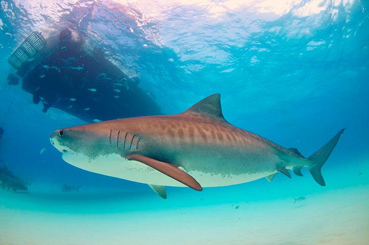 Сколько живут тигровые акулы?