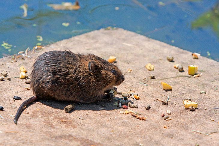 Чем питается водяная крыса?