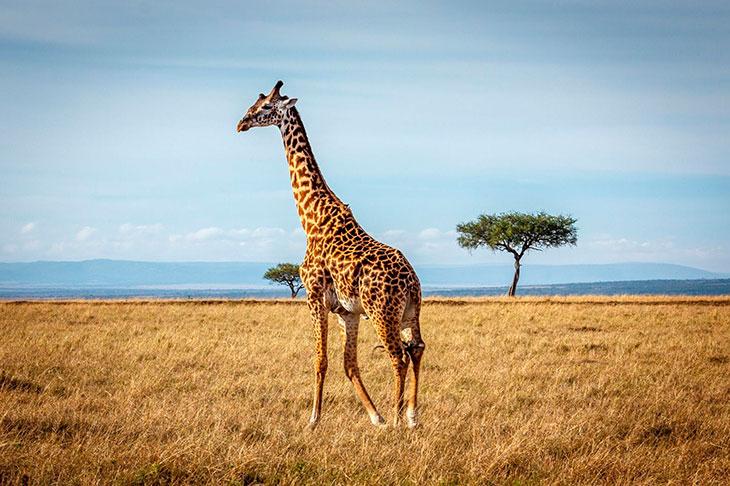 Подвиды жирафов