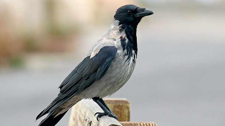 Сколько живут серые вороны